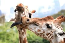 giraffes! / by Julie Rolfes