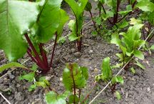 Growing Beetroot / Advice and tips on growing beetroot