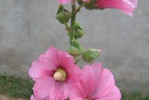 Hollyhocks / Stockrosor
