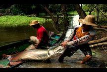 Рыбалка в Камбодже. Рыбаки поймали огромную рыбу в сеть.