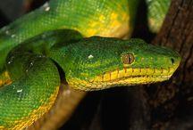 ANIMAL • Snake