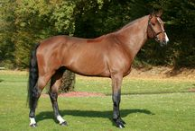 HH Radco / Elite BWP Stallion by Darco x Larome x Guignolet -  Approved BWP Elite, SBS, KWPN, SF, WESTFL, OLD, SI, NRPS  Available for breeding through Hyperion Stud