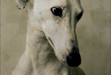 Whippet Photography / For inspiration