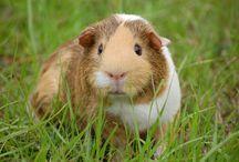 Cochon d'inde : animaux