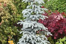 Conifers tree