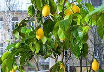 все про лимон