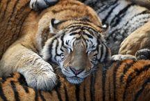 Parque Harbin: Santuario del tigre siberiano