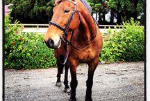 Horse jumping  / Horse jumping jump, chestnut