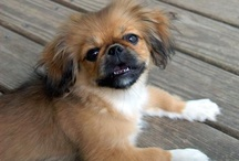 Pekinese dogs / by Dianne High