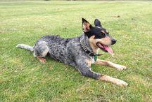 Dogs / Aussie Dogs
