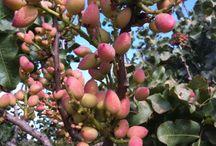 pistacio tree