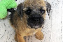Border Terriers / by Dogsclub .TV