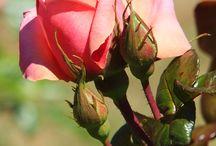 Rosa/Ruusut