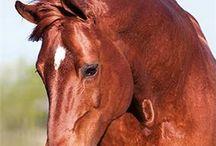 Warm bloods horses