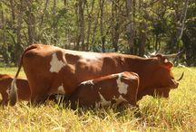 Panama Cattle Breeds #1