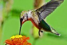 Hummingbird info