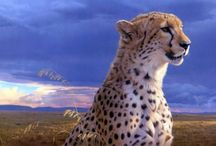 ANIMAL • Cheetah