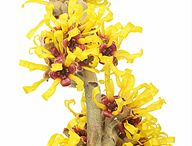 Witch Hazel  / Strong anti-oxidant and gentle astringent properties help to fight acne, reduce redness/inflammation and keep the necessary moisture in. Witch hazel cleans without stripping the skin's beneficial oils.