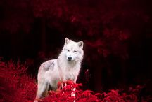 Wolves in Winfield  (novel inspiration) / Inspiration for my novel.
