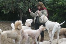 Poodles / Dogs