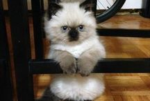 Ragdoll kittens/ too cute