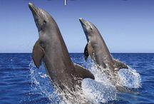 2015 Dolphins Calendar / by MegaCalendars.com