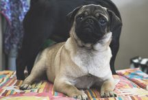 Pug Activities + Adventures / A board full of pug activities and ideas for pugs to enjoy with their humans, pug adventures, what to pack for a dogs day out and more fun activities for pug lovers to enjoy too.
