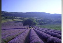Lavender / by Anne-Marie L