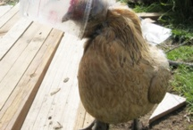 Chickens, Ducks and Turkeys / by Mona @ Healthy Homesteading