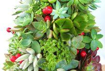 Juletræs plante / Planter