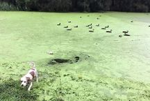 Viral Video - VIDEO - Dog Accidentally Jumps Into Pond