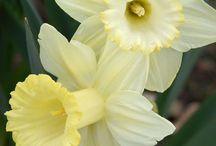 Daffodils to paint