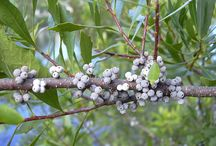 Bayberry (Myrica cerifera) / All things related to the medicinal herb bayberry.