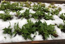 Salat salad spinat