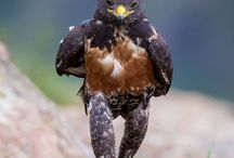 Photoshop Story Of Jackal / Clint Ralph, 53 an animal enthusiast was visiting Giant's Castle in Kwa Zulu Natal, South Africa, with his son when he spotted a jackal hawk marching around like a human soldier