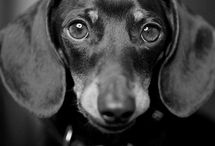 Chiweenie/Daschund's / Dogs and Puppies / by Jennetta Day-Shiff