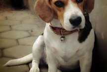 Michelle the Beagle / #beagle #dog #puppy #michellethebeagle #cutedog #pet