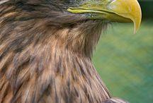 Ørne og andre rovfugle