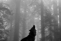 Wolves / Lobos