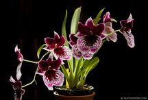 Orchids from Guatemala