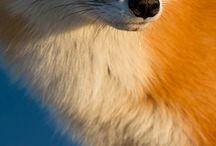 Types of Fox
