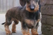 Doxies / Chiens méchant