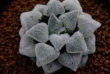 Haworthia Ruddy