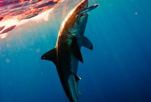 Zvieratá žraloky