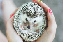 Hedgehog Photography