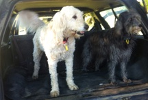 """Bella Bellbell the Goldendoodle / Some of the photos of Bella, just going about her life.  She's also got a facebook page """"Bella Bellbell"""""""