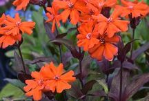 Perennial cold-hardy flowers / Interesting flowers to grow from seed