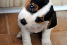 Jack russell puppies / Jack russell puppirs