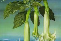.ilustração botânica