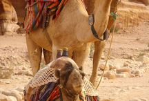 Camels / by Nicole